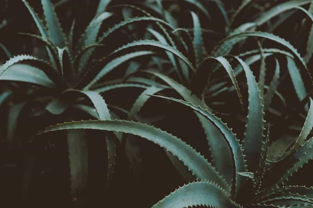 Aloe vera as remedy