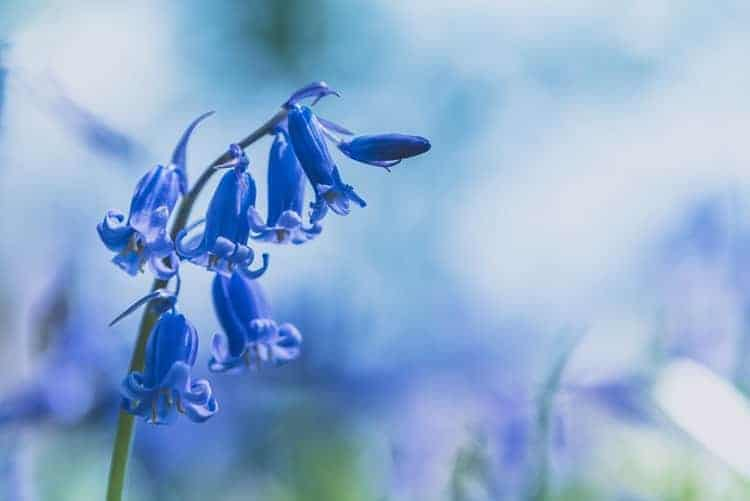 Bluebells For Flower Therapy