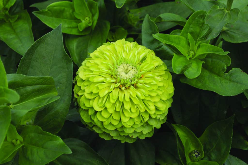 green zinnias 1 1024x683 - Flower Therapy : How It Will Be Beneficial For Health?