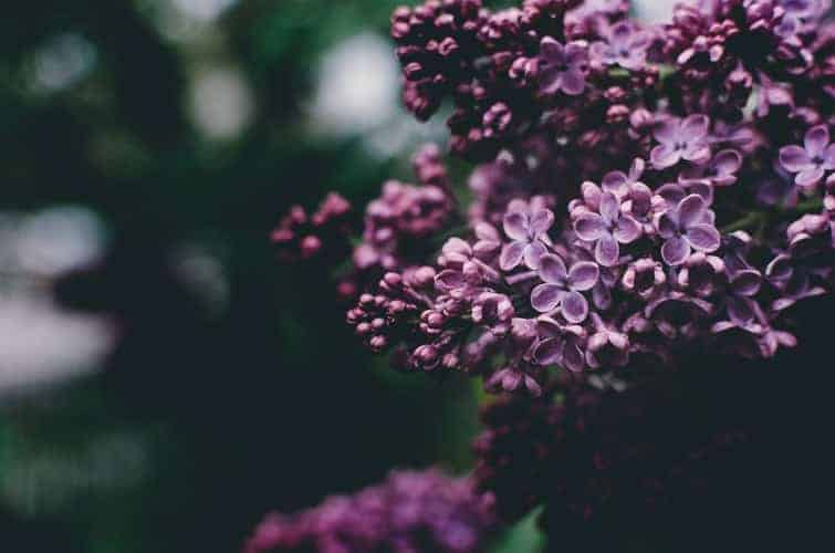 Lilac Flower Flower Therapy