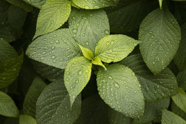 Mint As Home Remedies for Acne