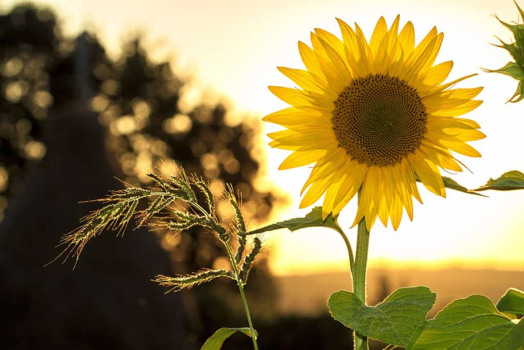 Sunflower for Flower Therapy