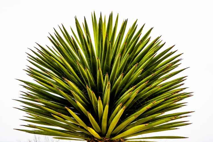 Yucca As Home Remedies for Autoimmune Diseases